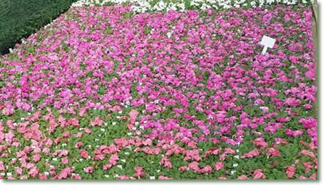 Stan Oudding Bedding Plants Flowers Wave Petunias Faster and Better With TotalGrow Flowering LEDs
