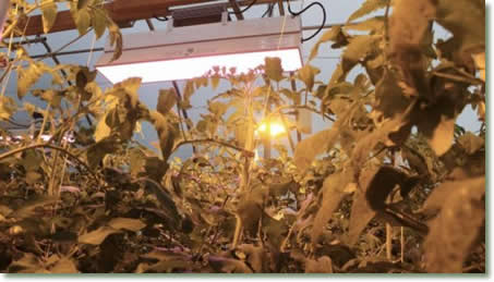 Miller Family Farm's TotalGrow and HPS Hybrid Lighting for Tomato Production