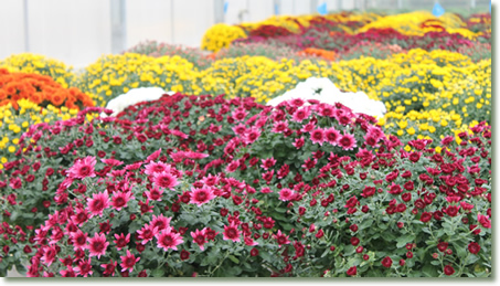 Kalamazoo Specialty Plants Mums Under Testing with TotalGrow Night & Day Management Flowering Lights