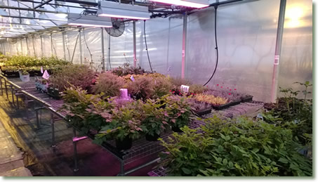 Waters Gardens Testing of TotalGrow Broad Grow Spectrum LED Light Fixtures to Save Power Over HPS Lights for Perennial Propagation