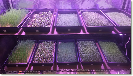 Microgreen-Growing Racks Utilizing TotalGrow Broad Grow Spectrum Light LED Bulbs