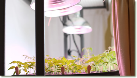 Garden Transplants Starting in a Window and Supplemented by TotalGrow Broad Grow Spectrum Light LED Bulbs