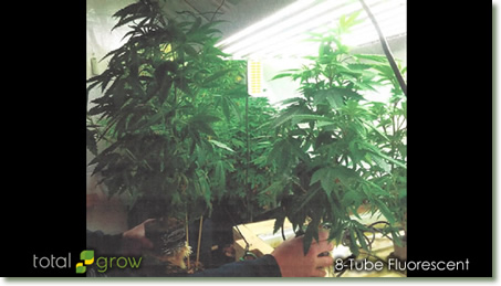Superior Marijuana Growth under TotalGrow Broad Grow Spectrum Lights Compared to T5 Fluorescent Lights