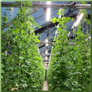 Tomato Production at Peckham Farms under TotalGrow TG15A Broad Grow Spectrum Light LED Fixtures