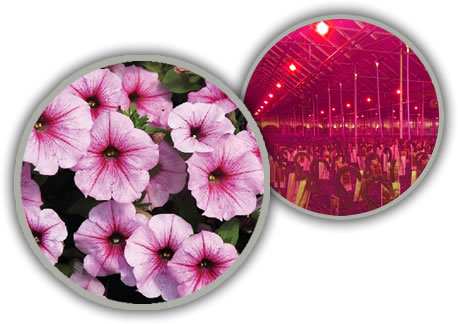 TotalGrow Pure Flowering 200 Lamps Provide Photoperiodic Flowering Control of Crops Like Petunias
